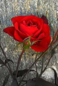 Stunning red rose, Sankt Johann im Pongau, Austria.