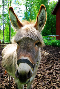 Swedish åsna (donkey) in Grudd's Garden.