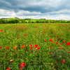 Spring Meadow Filled with Poppies, Pienza, Val d'Orcia, Tuscany, Italy