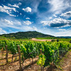 Vineyard with the Town of Montalcino, Tuscany, Italy