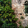 Orange Tree with Citrus along a Ruined old Building, Latina, Italy