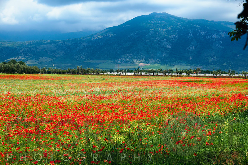 Poppies Filled Meadow, Latina, Italy