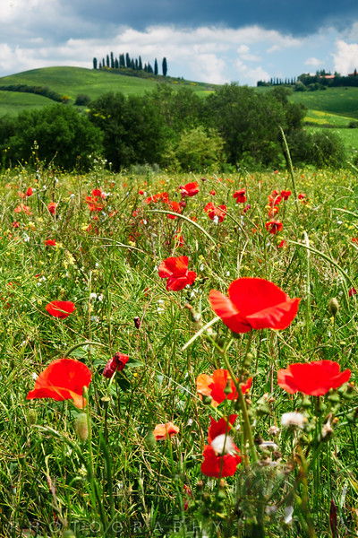 Close Up View of Red Poppies in a Field, Tuscany, Italy