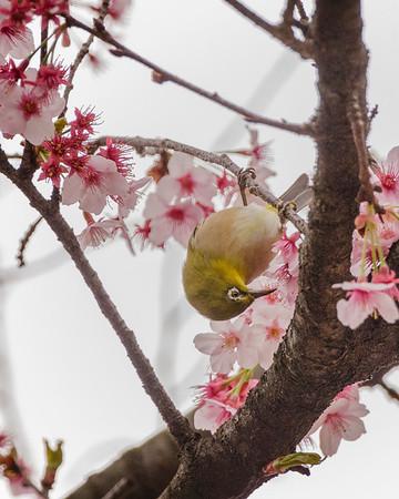 A  mejiro (Japanese white-eye) enjoys the blossoms.  Shinjuku Gyoen National Garden
