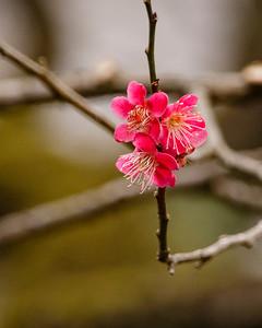 Cherry Blossoms (sakura). Shinjuku Gyoen National Garden