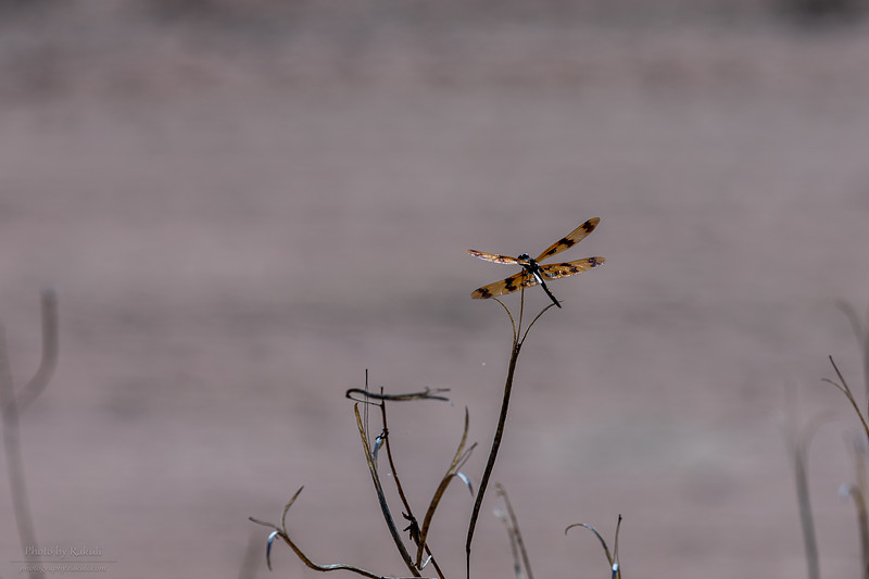 Yellow striped dragonfly