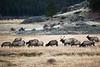 Elk Herd, Rocky Mountain NP