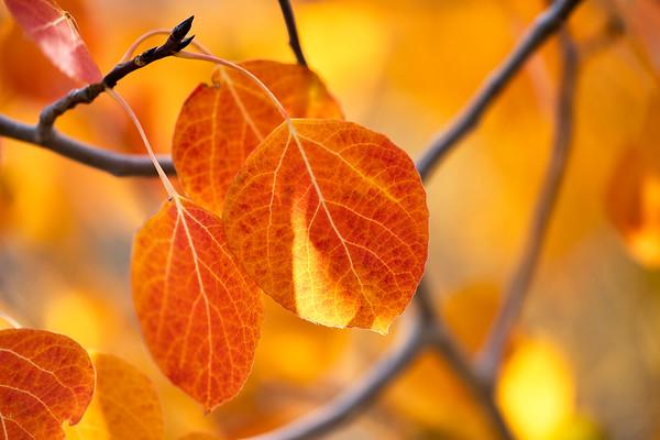Fall Leaves, Bishop Creek Canyon, CA