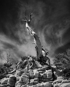 Bare Bristlecone Pine