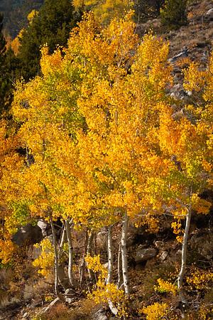 Fall Aspens, North Lake.