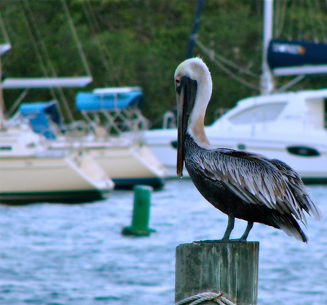 Hungry Pelican, Red Hook Pier, St. Thomas, USVI