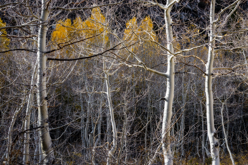 Aspen Thicket
