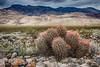 Barrel Cactus, Death Valley National Park