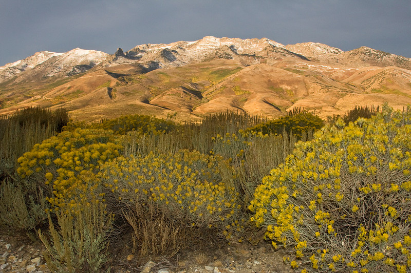 Northern end of the Ruby Mountains with Rabbit brush in the foreground, near Wells, NV. Oct 1, 2007.