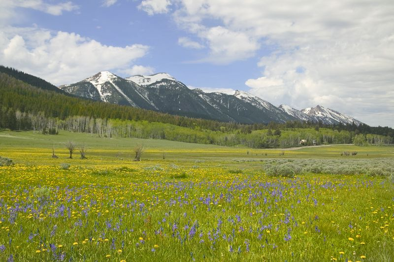 A field of Camas with Dandelions in Spring, sit in front of the Centennial Mtns in Idaho, near Island Park, 2004.