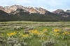West Centennial Mountains and Arrowleaf balsamroot wildflowers