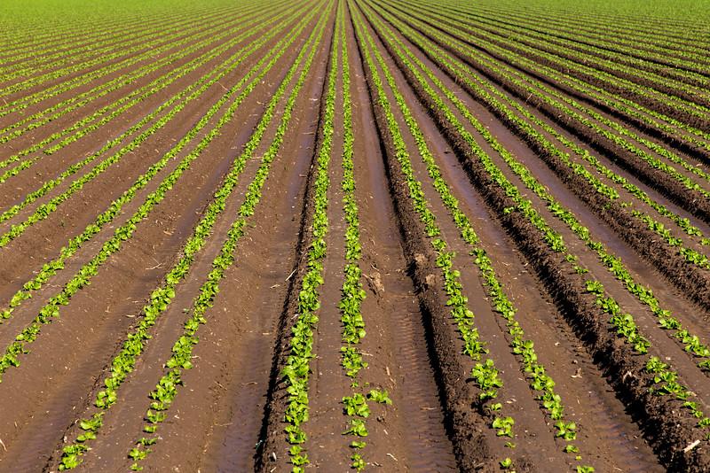 Veggies planted in a Gila River Farm