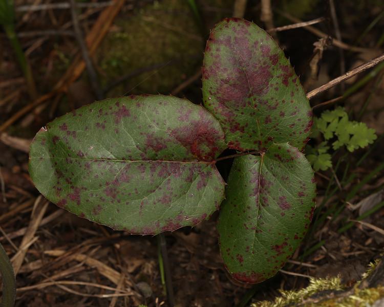 The textures of the Oregon Grape bush.