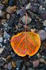 Orange Aspen Leaf on Asphalt