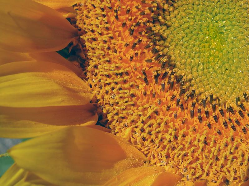 Sunflower designs. Wyoming.