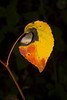 Idaho Aspen Leaf turning golden with red