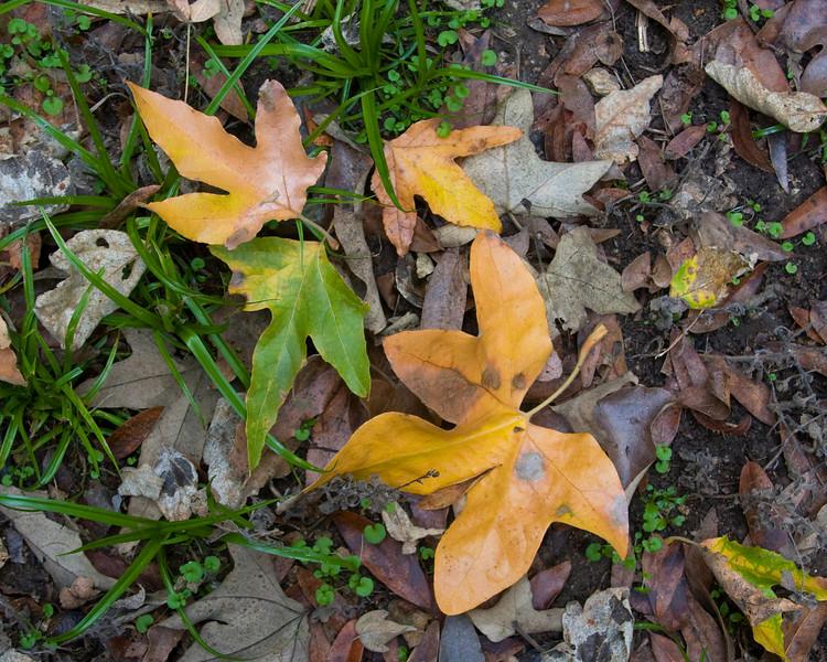 Leaves in Henry Cowell Redwood State Park, Felton, CA, Nov 24, 2007