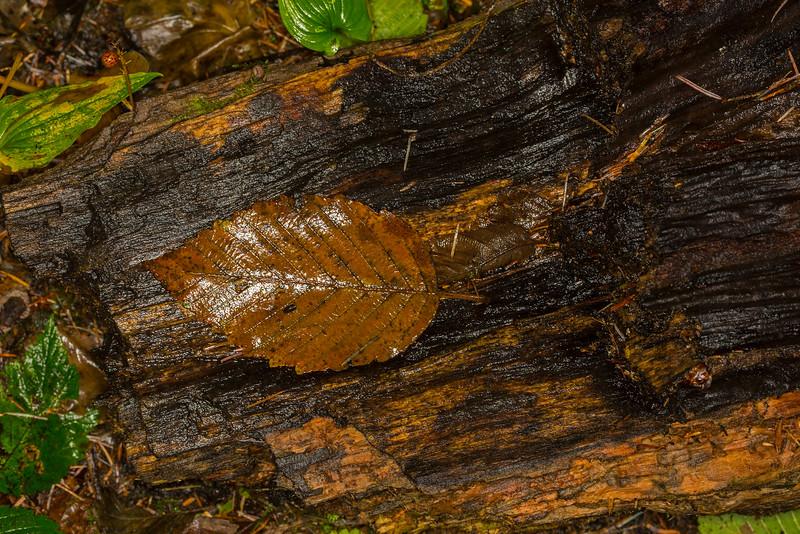 Fallen Brown Leaf in Forest