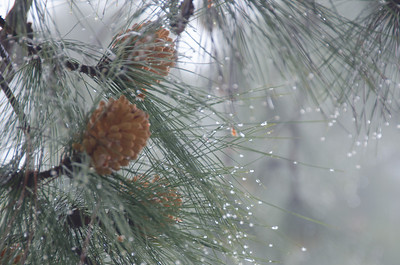 Pine Cones on a Foggy Morning