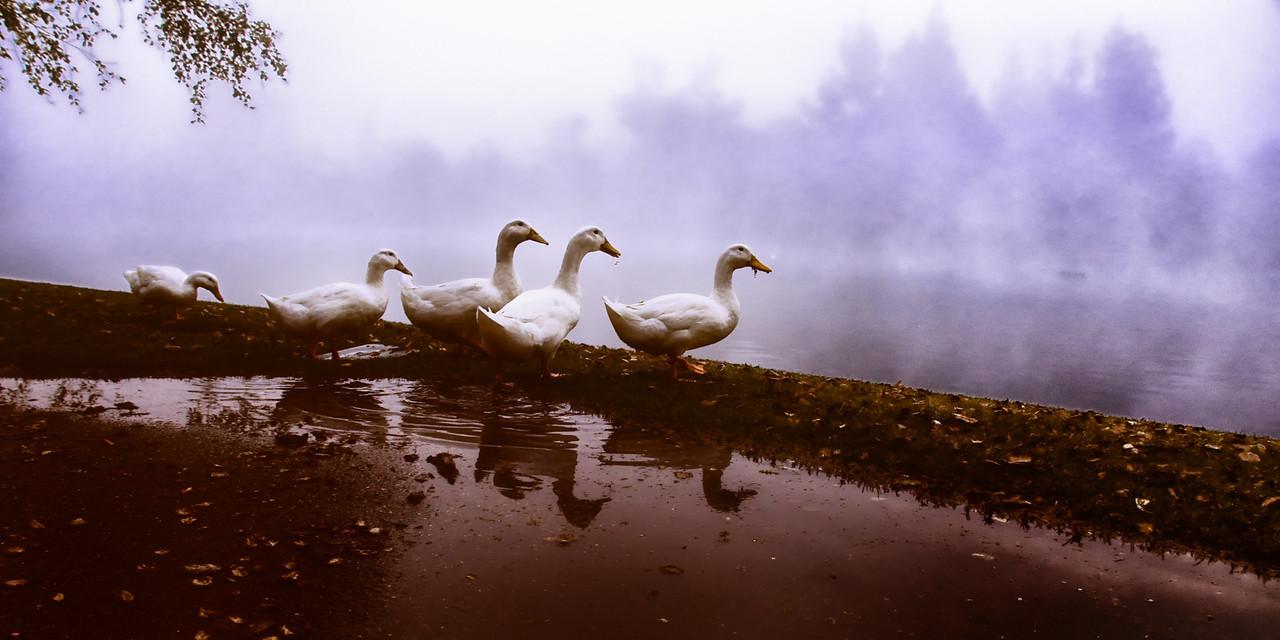 Ducks Reflecting on a Foggy Day Brownish