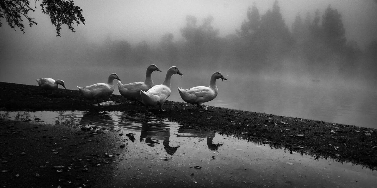 Ducks Reflecting on a Foggy Day