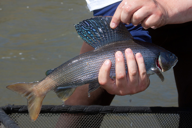Artic Grayling captured for measurement, weighing and sexing in Red Rock Creek. May 14, 2012