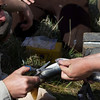 Clipping off part of the dorsal fin for genetic testing of the Arctic Grayling in Red Rock Creek, MT. May 16, 2012.