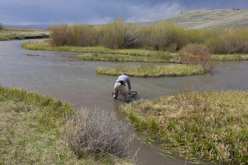 Releasing the Arctic Grayling after a day's analysis and harvesting of gametes. Red Rock Creek, MT. May 16, 2012.