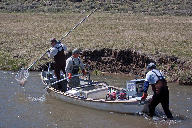 These fish biologists are using Electroshock methods to force the Arctic Grayling up to the surface so they can be caught for inventory. May 14, 2012. Red Rock Creek, MT.