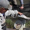Weighing the Arctic Grayling from Red Rock Creek, MT. May 16, 2012