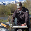US Fish and Wildlife fish biologists is weighing a live fish for their study on the Arctic Grayling. Red Rock Creek, MT.