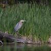 Great Blue Heron at Silver Lake