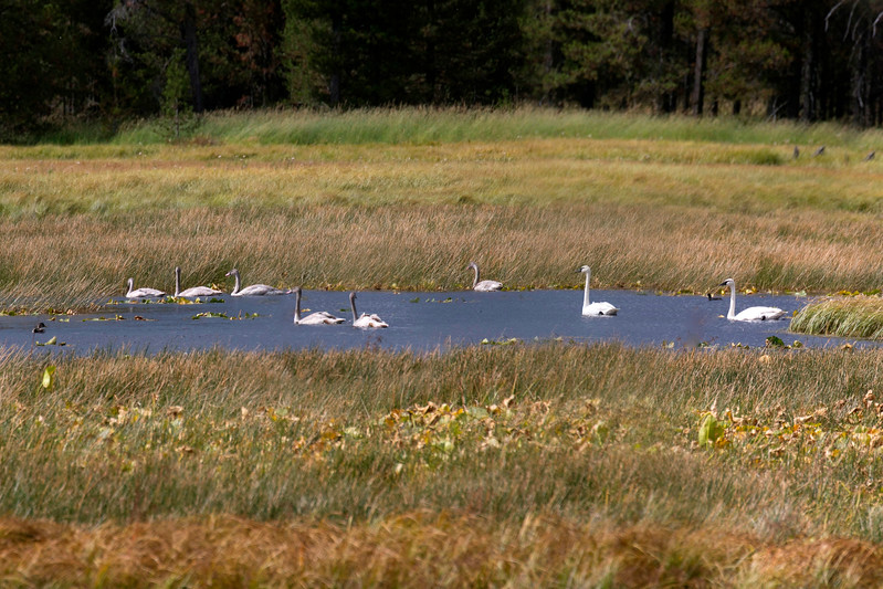 Trumpeter Swans at Harriman State Park