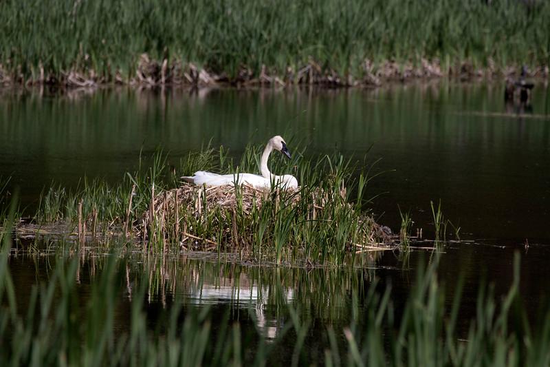Mama Trumpter Swan Waiting at Harriman State Park