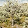 Large Sagebrush in shape of Tree, Conservation Property, North Side