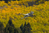 Trumpeter Swan flying with fall foilage (Aspens) as backdrop. This photo is a collage, each part taken within a mile of each other on the same morning in Red Rock Lakes National Wildlife Refuge. Sep 19, 2010.
