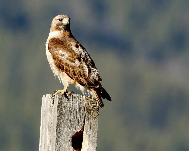 Swainson's Hawk in Red Rock Lakes Wildlife Refuge, Montana. June 12, 2007.