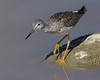 Lesser Yellowlegs (Tringa flavipes) at Lower Red Rock Lake dam in September, 2010.