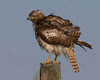 Northern Goshawk (Accipiter gentilis) along North Valley road in Red Rock Lakes National Wildlife Refuge. July 23,2011.