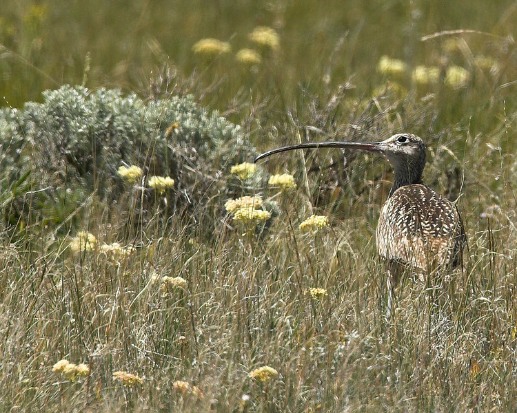 Long-billed Curlew. Red Rock Lakes Wildlife Refuge, Montana, June 22, 2007