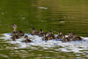 Mallard mom and chicks. Elk Springs Creek. Aug 18, 2011. Red Rock Lakes Nat'l Wildlife Refuge.