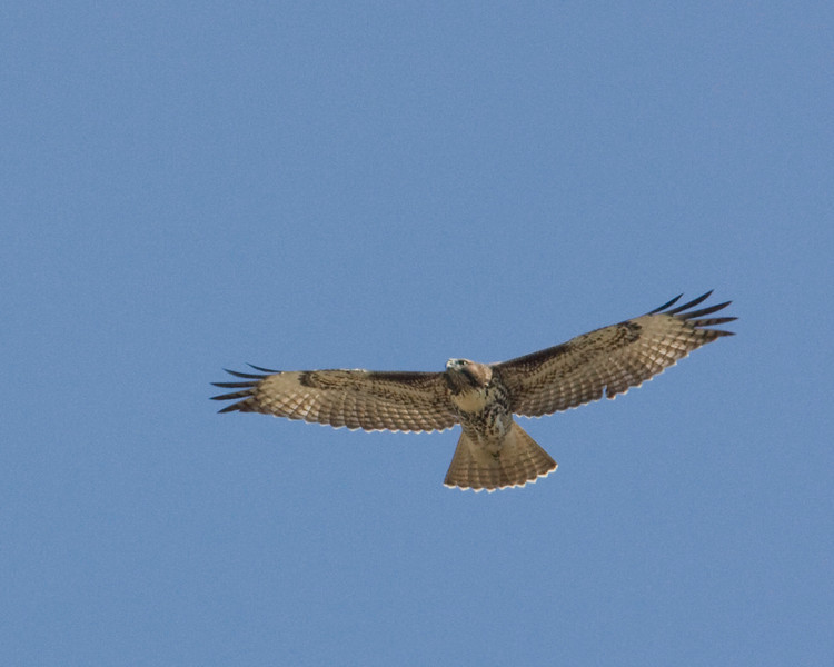 Juvenile Red Tailed Hawk flying over Culver Pond in Red Rock Lakes National Wildlife Refuge, Montana.  Aug 2009