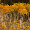 Aspens along South Centennial Road on first day of fall.
