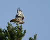 Red-tailed Hawk (Buteo jamaicensis) launching from top of tree in Red Rock Lakes National Wildlife Refuge.