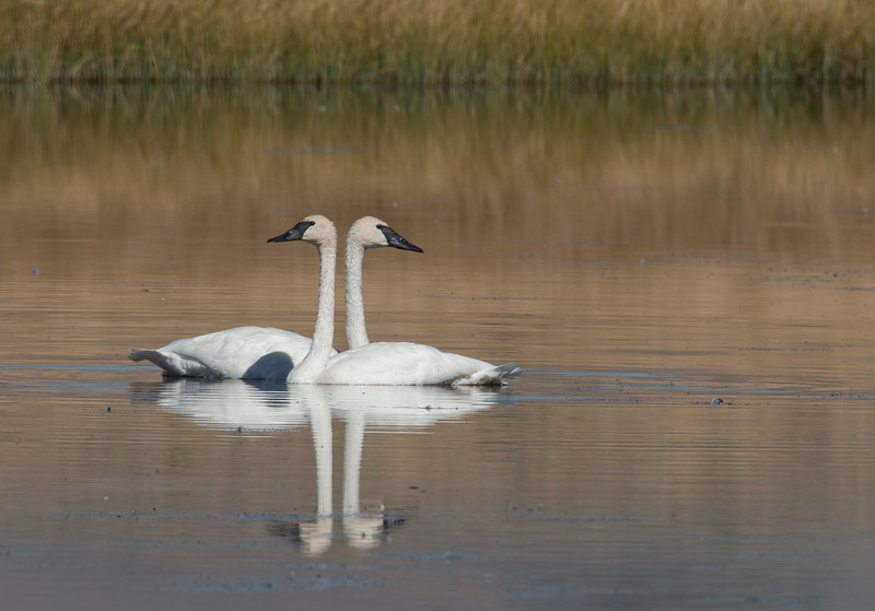 Trumpeter Swans in Culver Pond
